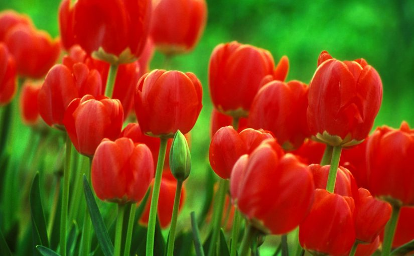 red tulips in garden